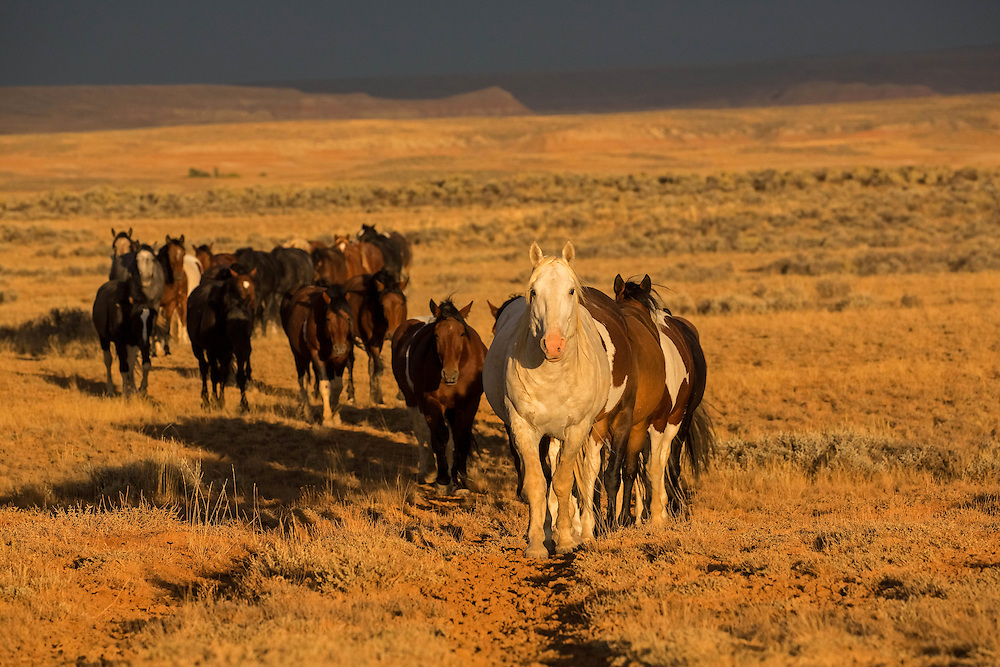 To the wild horses of McCullough Peaks, water is precious. During spring, waterholes and creeks are overflowing, but after a hot, dry summer, most waterholes on the range are only a memory. Luckily, the horses know where to find water during these tough times, and follow the well worn paths leading them to this scarce resource.