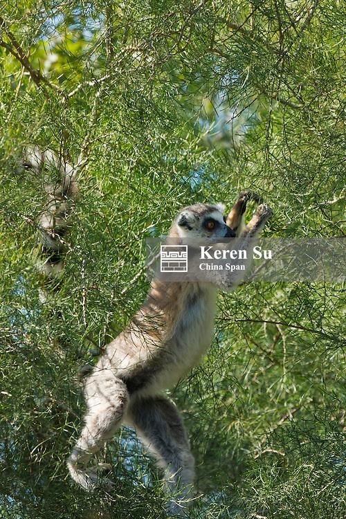 Ring tailed lemurs (Lemur catta), Berenty National Park, Madagascar