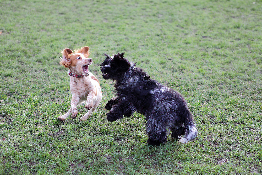 Cooper the 5 month-old working cocker spaniel plays with Henry the 8 month-old show-type cocker spaniel.