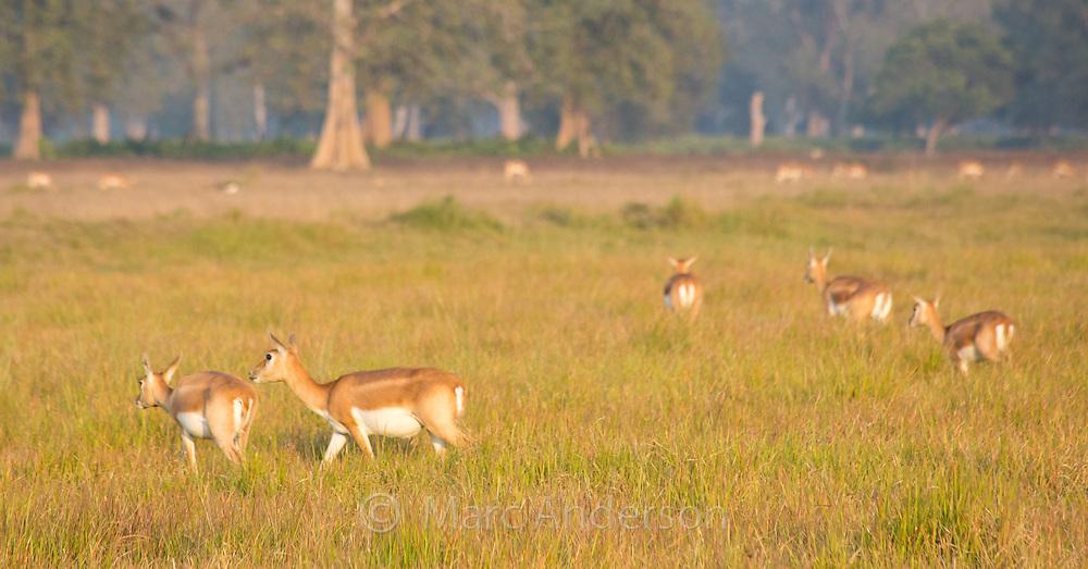 A small herd of female Black Buck antelope (Antilope cervicapra) in the Black Buck Conservation Area, Khairapur, near Gulariya, Nepal