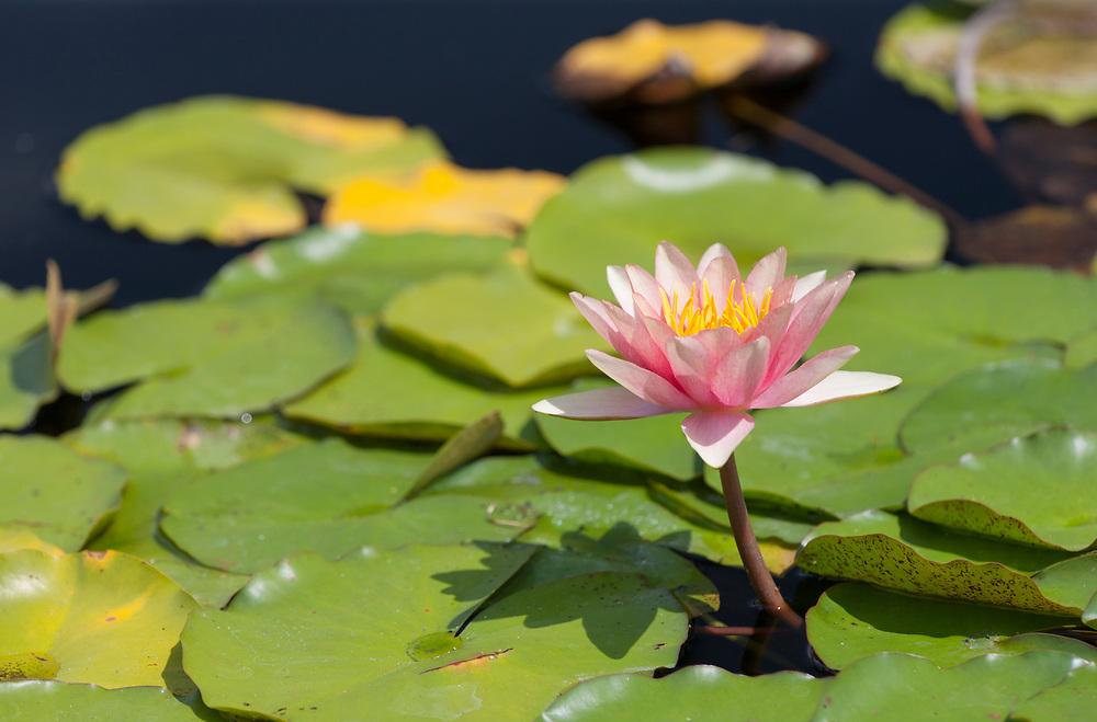 Lily pad at Olbrich Gardens, Monona, WI.