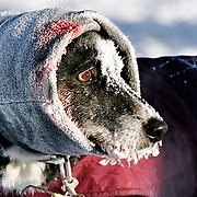Ian Stewart/Yukon News<br /> A member of Jean-Denis Britten's team wears a scarf over an injury at the North Pole dog drop on Saturday during the Yukon Quest.