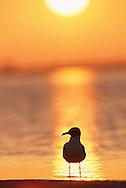 Laughing gull (Larus atricilla), Florida.