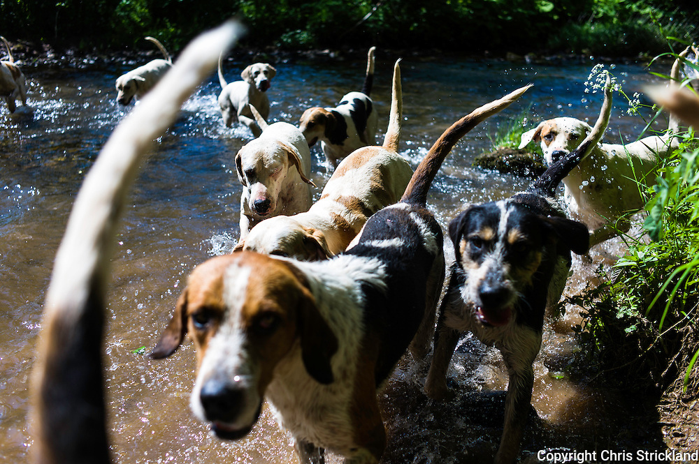 Abbotrule, Bonchester Bridge, Hawick, Scotland, UK. 10th June 2015. Hounds of the Jedforest Hunt cross Rule Water near Hawick while on excercise on a hot afternoon in the Borders.
