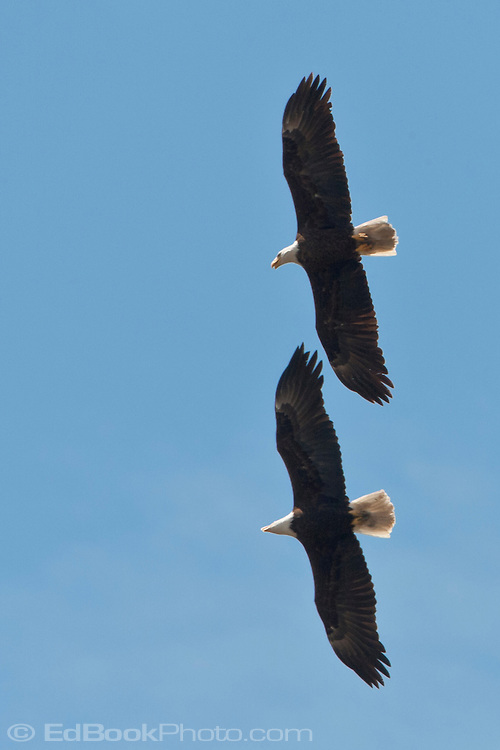 Two Bald Eagles(Haliaeetus leucocephalus) soar over the Hood Canal, Puget Sound, Washington state, USA in close formation directly overhead against a clear blue sky.