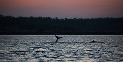 A humpback whale calf waves its tail in the main channel on the western side of Augustus Island.