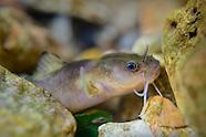 Slender Madtom, underwater