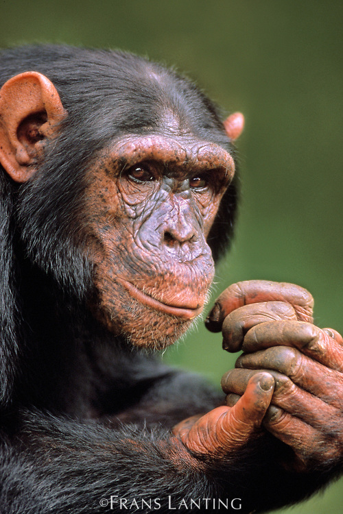 Chimpanzee male, Pan troglodytes, native to Central Africa