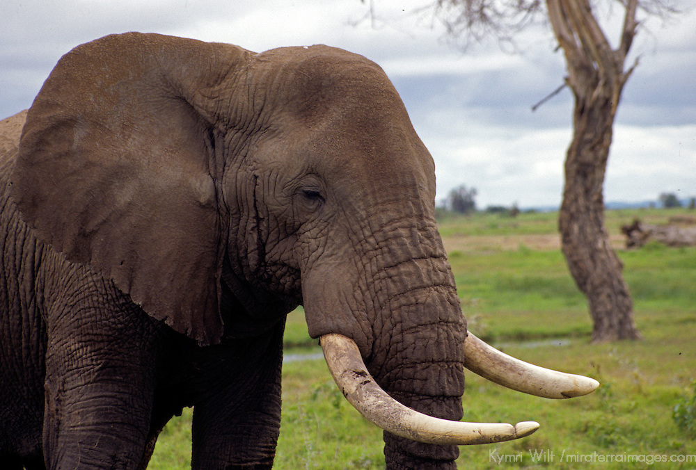 Africa, Kenya, Amboseli. Bull Elephant in musk.
