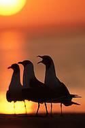 Laughing gulls (Larus atricilla), Florida.