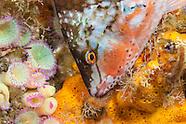 Pseudolabrus luculentus (Orange wrasse)