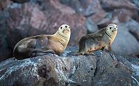 California Sea Lions in Isla San Pedro Martir Biosphere Reserve in the Gulf of California, Mexico.