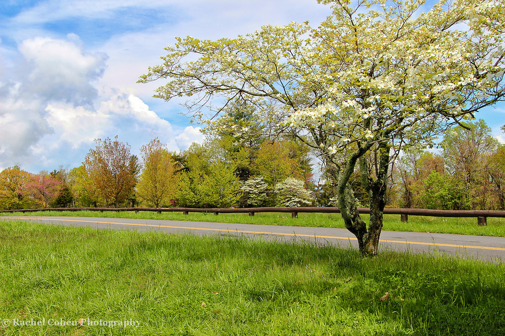 &quot;Dogwoods at Dickey Ridge&quot;<br /> <br /> The wonders of spring in full bloom at Dickey Ridge!!<br /> <br /> The Blue Ridge Mountains by Rachel Cohen