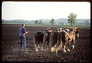 33: RHINELAND DRAFT HORSES, RIDING