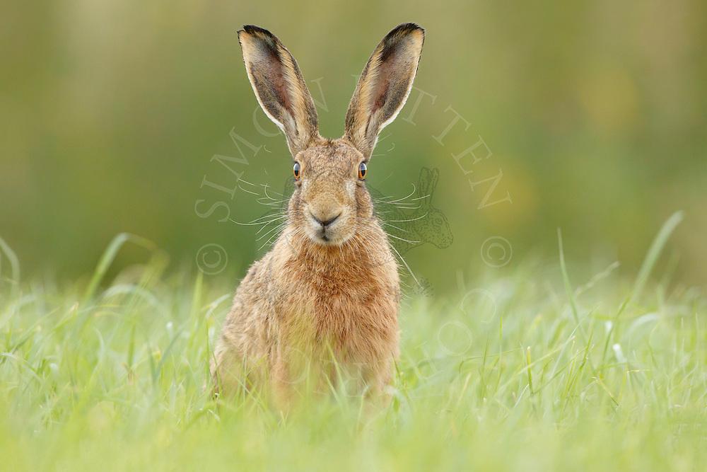 European Hare (Lepus europaeus) adult on grass margin, South Norfolk, UK. July.