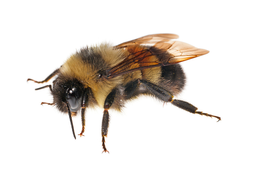 Rusty Patched Bumble Bee (Bombus affinis), female, worker, from Wisconsin. A species that has declined 87% in the past 15 years due primarily to an introduced Eurasian pathogen.