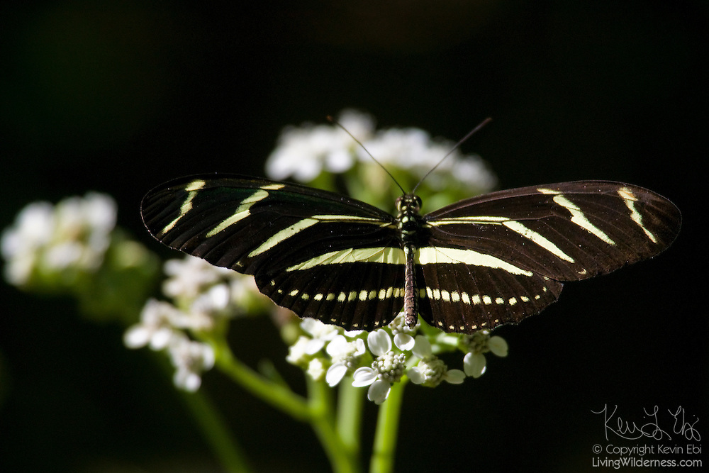 A zebra longtail butterfly (Heliconius charitonius) rests on a flower near the Cape Canaveral National Seashore in Florida. The zebra longtail butterfly was named Florida's official state butterfly.