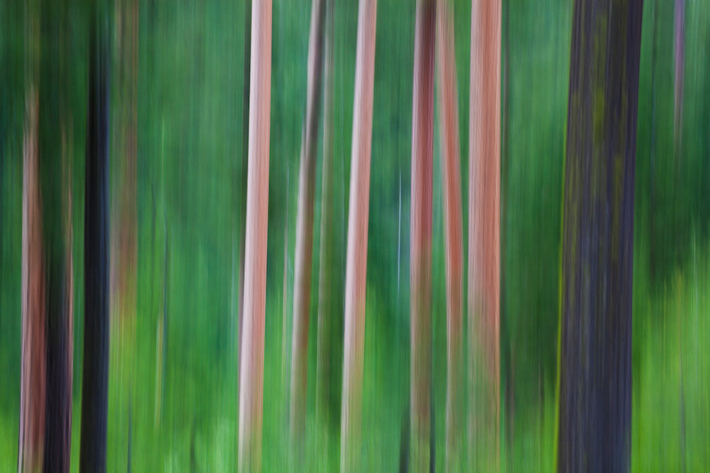 The trunks of ponderosa pine (Pinus ponderosa) and coast Douglas-fir (Pseudotsuga menziesii) blurred by camera motion, Okanogan National Forest, Washington.