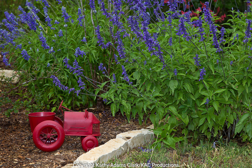 Mealy blue sage, Salvia farinacea, in the garden with a red tractor garden ornament, Block Creek Natural Area, Comfort, Texas.