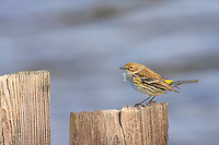 Yerlow Rumped Warbler on a bulkhead behind Bodie Island Lighthouse.