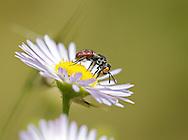 A Cuckoo Bee (Holcopasites calliopsis) drinks nectar from an Aster. Pickens, South Carolina, USA