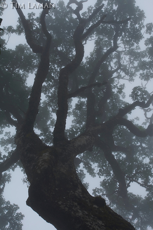 Mist enshrouds the canopy of a giant mahogony tree in the rain forest of Bioko's Caldera.