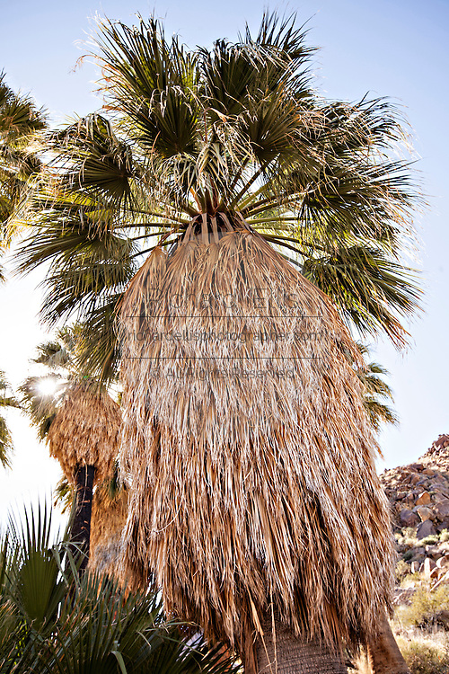 Fortynine Palms Oasis in the Mojave desert outside of Twentynine Palms, California.