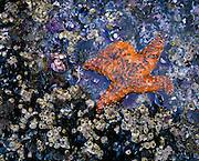 0603-1032B ~ George H. H. Huey ~ Intertidal zone with ochre seastar, California mussels and acorn barnacles.  Santa Barbara Island.  Channel Islands National Park, California.