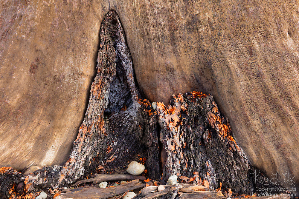A small patch of rough bark contrasts with the rest of the tree's smooth, weathered trunk, submerged for 100 years in Rattlesnake Lake near North Bend, Washington. The stump reemerged after the lake lost most of its water in a prolonged drought.