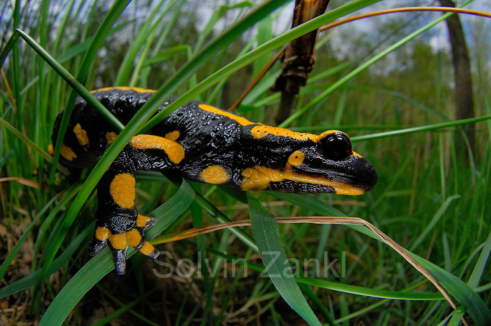 The fire salamander (Salamandra salamandra) is probably the most well-known salamander species in Europe.   Der Feuersalamander (Salamandra salamandra) ist eine Amphibienart aus der Familie der Echten Salamander.