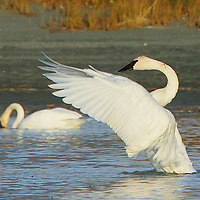 AS ONE TRUMPETER SWAN FEEDS, ANOTHER STRETCHES ITS WINGS BEFORE BEGINNING THEIR LONG TRIP SOUTH FOR THE WINTER. THE PAIR WERE IN A MANMADE POND POPULAR TO MIGRATING WATERFOWL, NEAR THE KNIK RIVER.