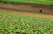 A woman works in a lettuce field near Pardess Hanna, Israel. I promised the woman I would not show her face.