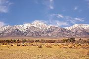 Desert,Dandelions, Owens Valley, Eastern Sierra, California