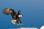 Bald Eagle, Haliaeetus leucocephalus, landing on ice and snow, Kenai Peninsula, Homer Spit, Homer, Alaska. Digital original, #2006_0620 ©Robin Brandt