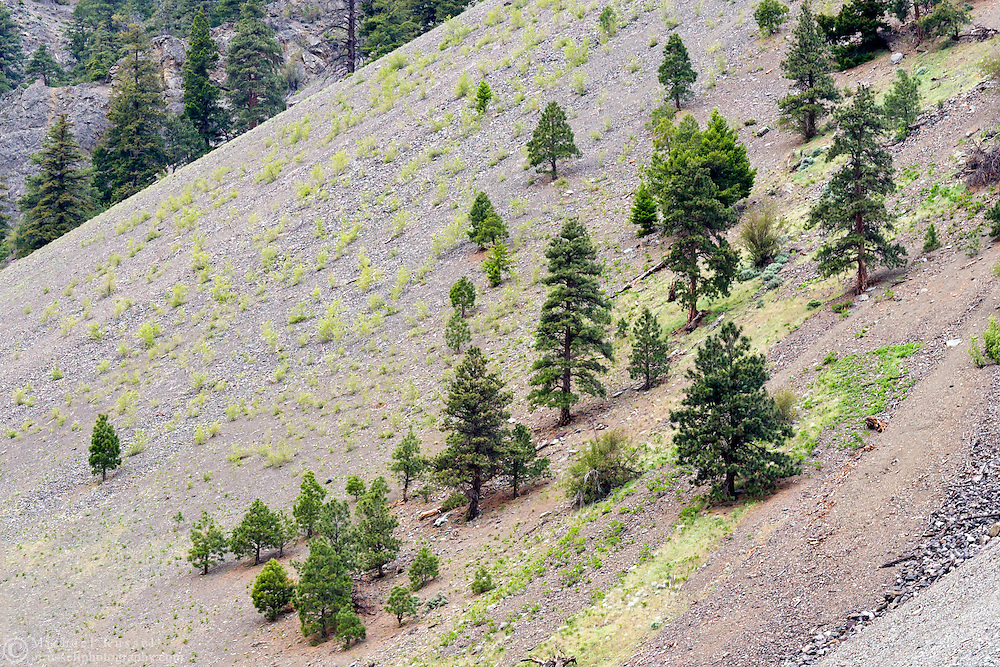 Pine trees growing on the slope of Sportsmans Slide in Keremeos, British Columbia, Canada