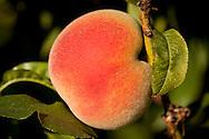 GM Farms peaches, Sauvie Island, Portland, Oregon