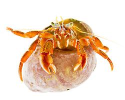 Acadian Hermit Crab, Pagurus acadianus, found in the Atlantic Ocean in Rye, New Hampshire.