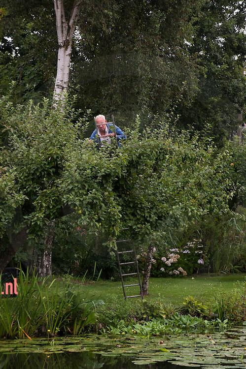 The Netherlands, Nederland 19aug2015 Vlist - Oude Vlisterdijk appels oogsten