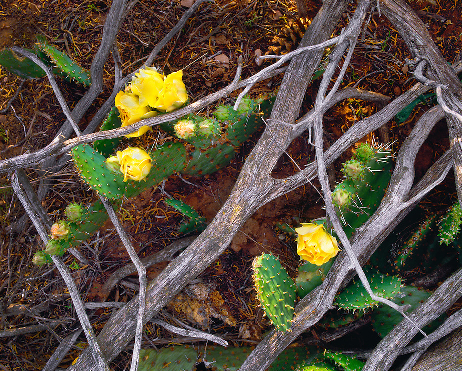 0210-1037 ~ Copyright:  George H. H. Huey ~ Prickly pear cactus [Opuntia engelmannii] in bloom with juniper branches.  Pecos National Historical Park, New Mexico.