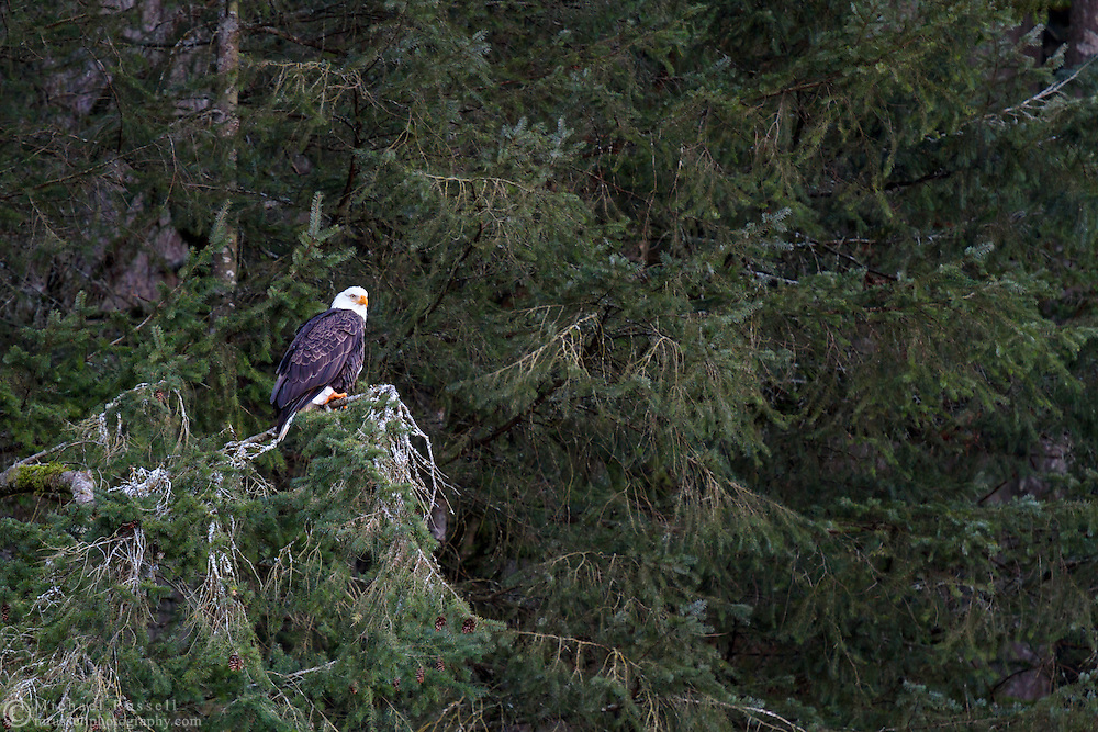 A Bald Eagle (Haliaeetus leucocephalus) roosting in a tree at Chehalis Flats during the Fraser Valley Bald Eagle Festival in British Columbia, Canada