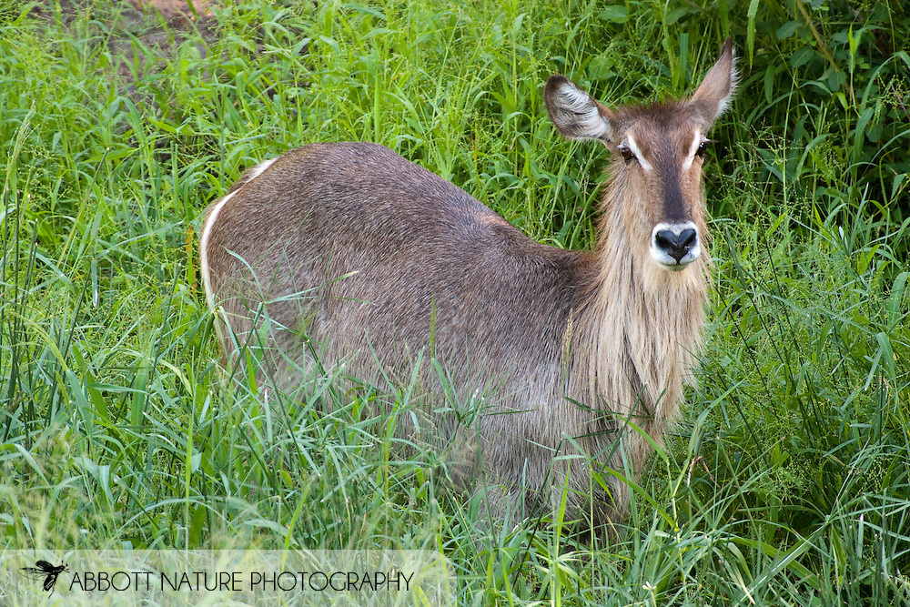 Common Waterbuck (Kobus ellipsiprymnus)<br /> SOUTH AFRICA: Mpumalanga Province<br /> Kruger National Park; near Satara Camp area<br /> 13-15.Jan.2006<br /> J.C. Abbott #2222