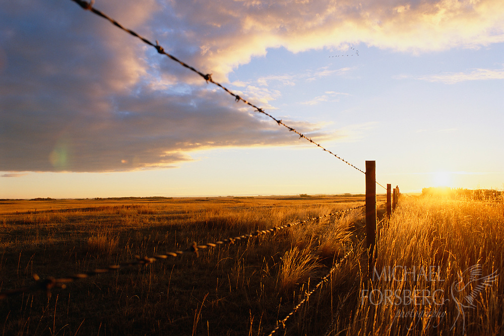 Sandhill cranes fly over landscape at sunrise. Saskatchewan, Canada.