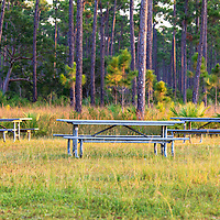 Picnic tables in a pine grove in Everglades National Park, Florida.