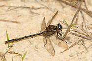 Diminutive Clubtail (Gomphus diminutus) - male<br /> SOUTH CAROLINA: Chesterfield Co.<br /> Cambell Lake off State Rd S 13-232; Sandhills State Forest<br /> 6.May.2012<br /> J.C. Abbott #2588