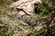 "The corpse of a man killed during a drunken dispute lies in the bush. It will not be moved until revenge for the death is taken on the tribe responsible and an ""innocent"" person is killed."