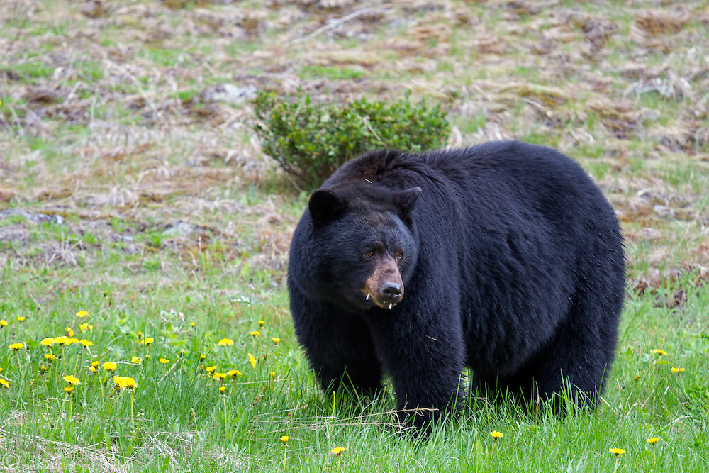 A Black Bear (Ursus americanus) eating dandelion flowers along the Crowsnest Highway in E C Manning Provincial Park, British Columbia, Canada