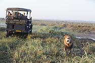 African lion next to truck of tourists on safari, Duba Plains, Botswana