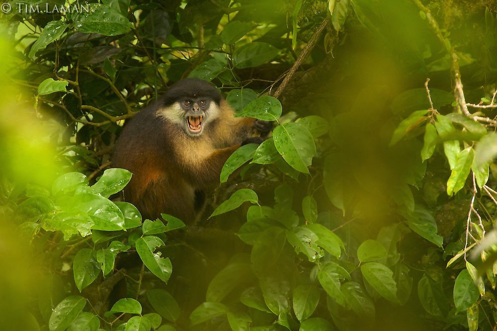 Pennant's Red Colobus (Procolobus pennantii pennantii) monkey.  Adult male.  Critically endangered species (IUCN Red List - CR), endemic subspecies to Bioko Island.
