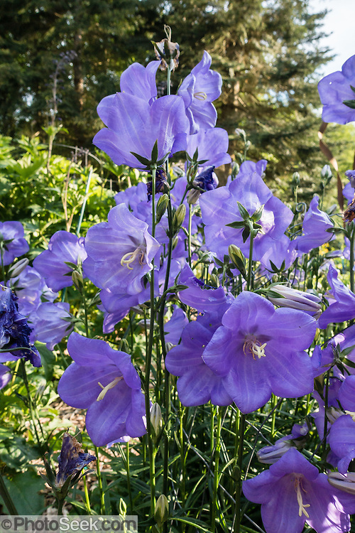Attractive purple flowers in garden. Whidbey Island, Langley, WA, USA.