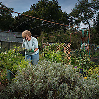 Finchley Horticultural Society, founded in 1940 as The West Finchley (Wartime) Allotments Association, part of the 'Dig for Victory' campaign. Photo shows Allotments Secretary June Brookes at the Gordon Road Allotments in Finchley, North London, Britain.